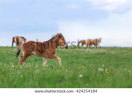 Little cute foal running along the pasture. - stock photo