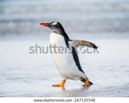 Little cute gentoo penguin portrait - stock photo
