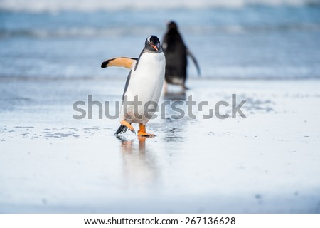 Little cute gentoo penguin portrait