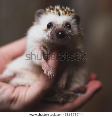 Little cute Hedgehog on handsv - stock photo