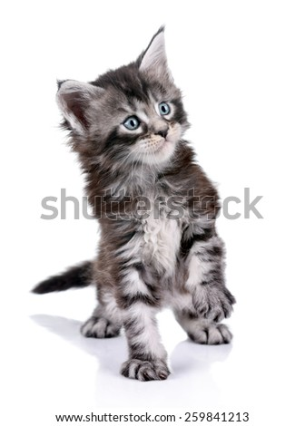 Little cute kitten plays on a white background
