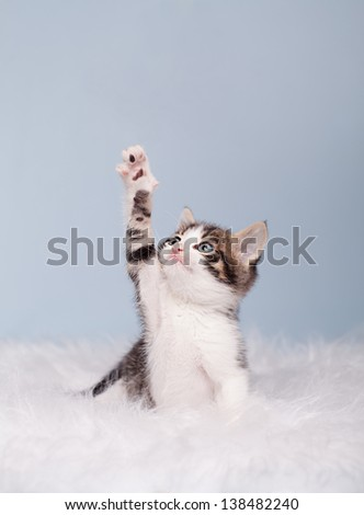little cute kitten trying to reach something on blue background - stock photo