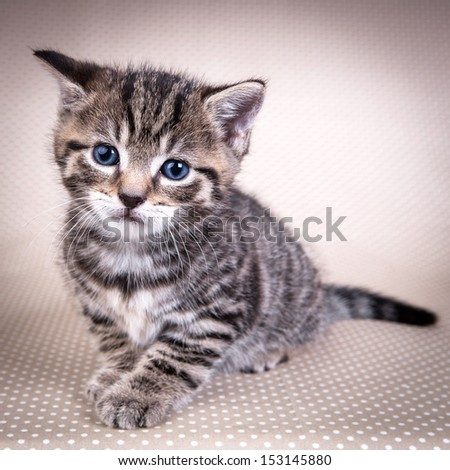 Little cute  kitten with blue eyes looking at you  - stock photo