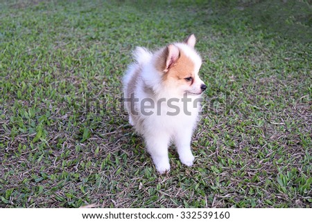 Little cute puppy in front yard at country home
