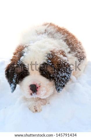 Little cute saint bernard puppy sitting in snow - stock photo