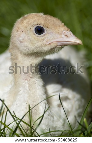 Little, cute turkey chick on the green grass - stock photo