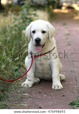 little cute yellow labrador puppy sitting n the garden