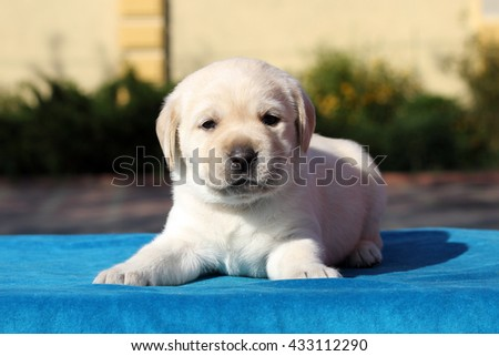 little cute yellow labrador puppy sitting on blue background