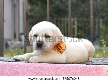 little cute yellow labrador puppy sitting on pink background