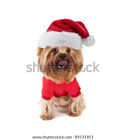 little cute yorkshire dog with xmas santa hat