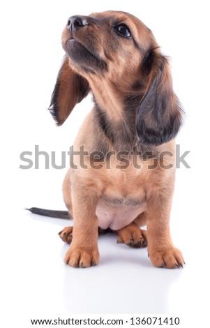 Little dachshund puppy on a white background. - stock photo