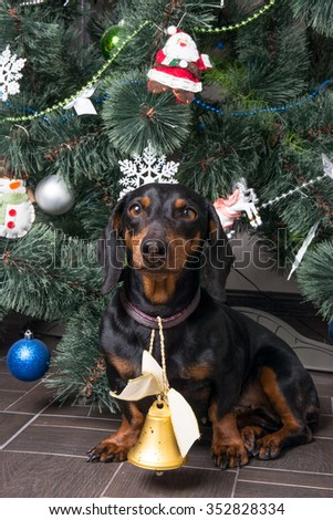 little Dachshund under the Christmas tree