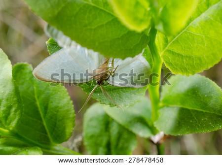 little day-flying moth - stock photo