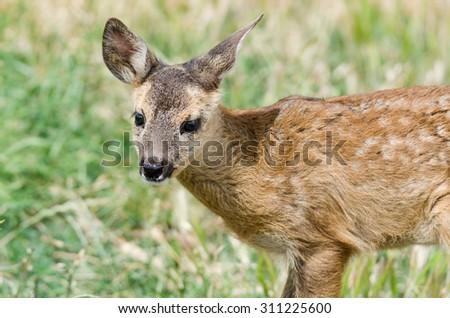 little deer - stock photo