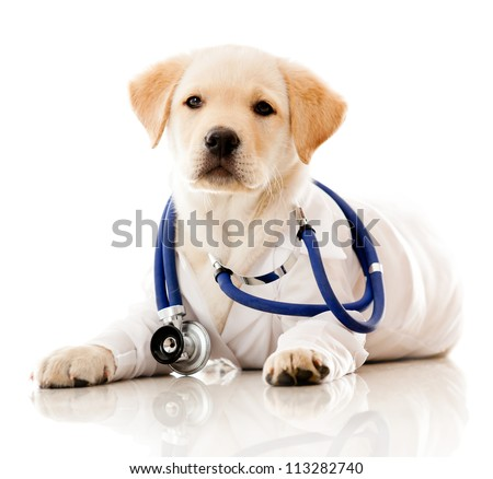 Little dog as a vet wearing robe and stethoscope - isolated over a white background - stock photo