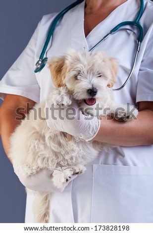Little dog at the veterinary doctor - carried for examination - stock photo
