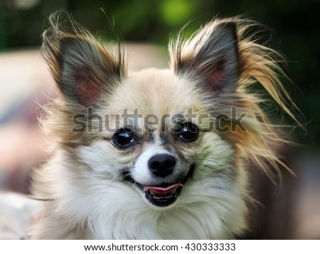 Little dog, big portrait. The dog is visible tongue. Dog Breed Papillon