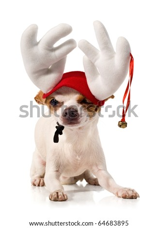 little dog in a carnival suit on a white background.decorative dog.chihuahua - stock photo