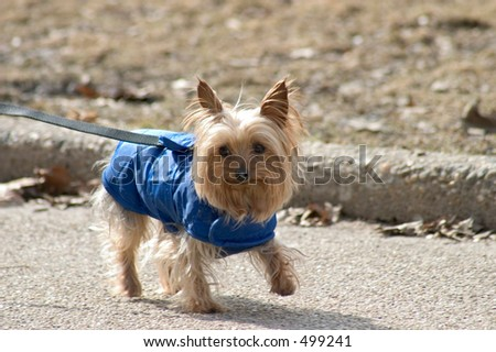 Little dog in blue - stock photo