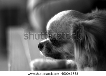 Little Dog in Sadness mood in monochrome style , Specific focus. - stock photo