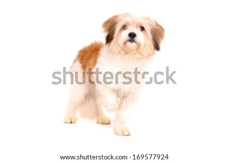 little dog isolated in white - stock photo