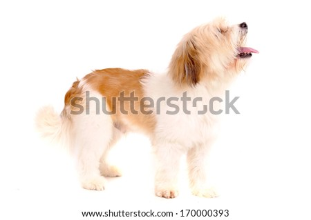 little dog isolated in white