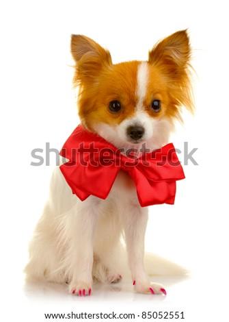 little dog isolated on white - stock photo