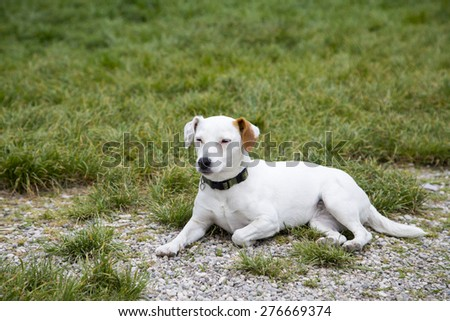 Little dog laying on grass look innocent and looking to the side. Cute labrador mixed white cream color - stock photo