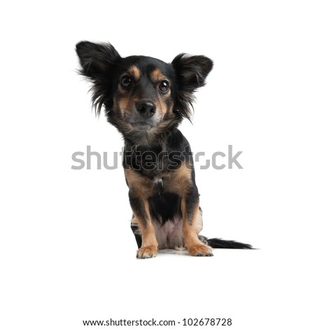 Little Dog looking in the camera isolated - stock photo
