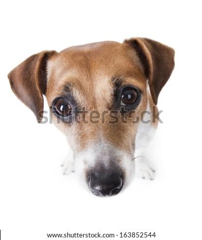 Little dog looks down beautiful eyes. The wide-angle lens. Big head. White background. studio shot - stock photo