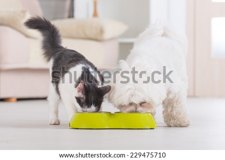 Little dog maltese and black and white cat eating food from a bowl in home - stock photo