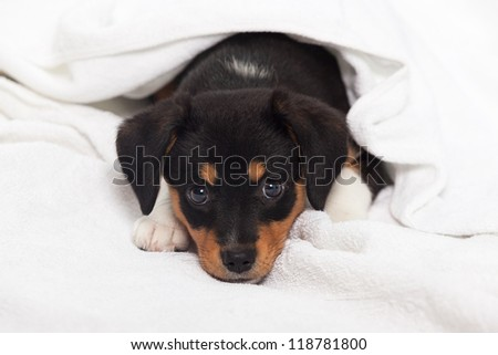 Little Dog on the Bed - stock photo