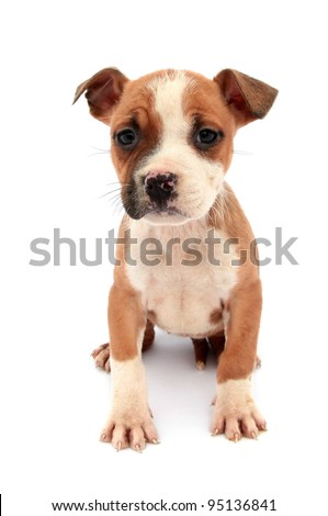 Little dog puppy - stock photo