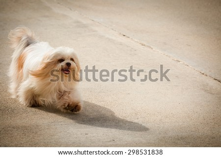 Little dog running on cement road