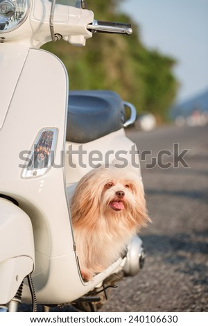 Little dog sitting on white scooter - stock photo