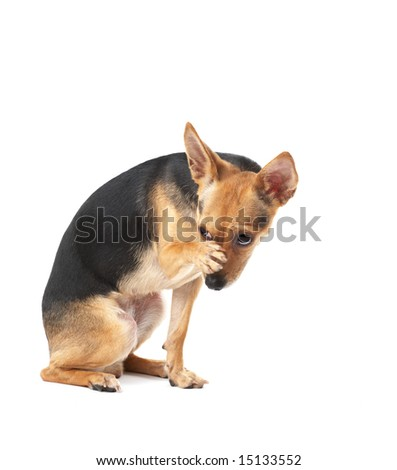 little dog (toy terrier) is washing - stock photo