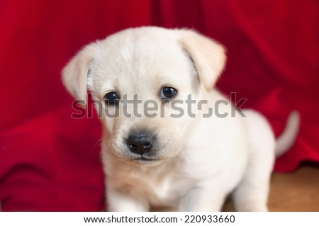 Little dog with a red background