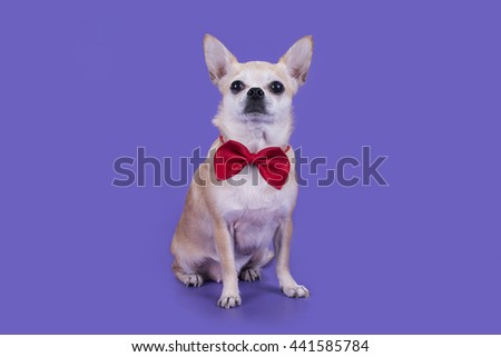 little dog with a red bow on a purple background - stock photo
