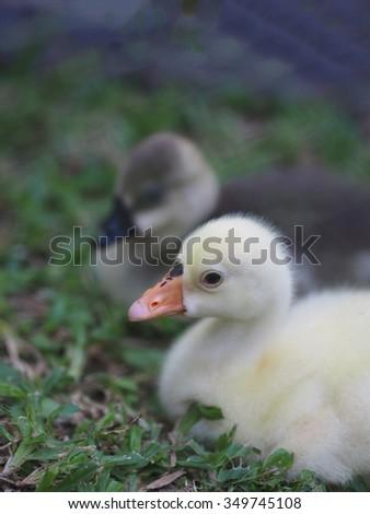 Little Duck - stock photo