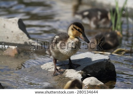 Little duckling (Anas platyrhynchos) on a rock in the water. - stock photo