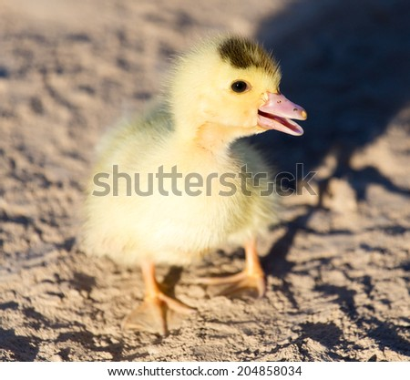 little duckling in nature - stock photo