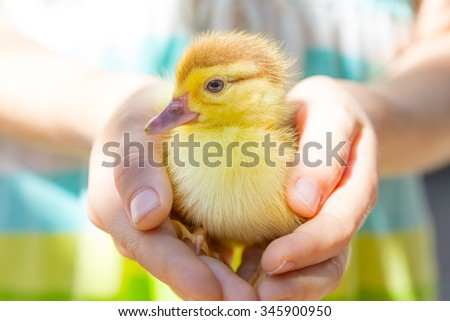 little duckling in the children's hands on a bright background - stock photo