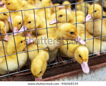 Little ducklings, chicks crowd gathered in the corner of the cage. Young ducks and chickens on a poultry farm for sale in the store. Industrial poultry small agriculture - stock photo