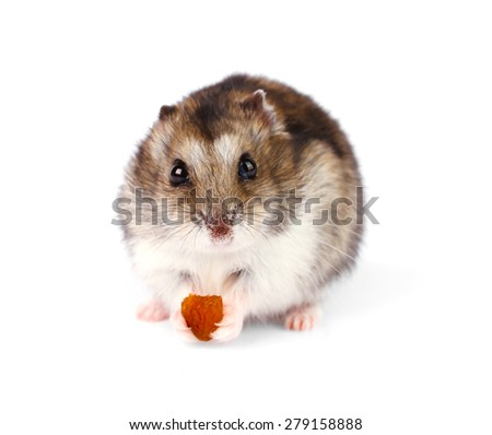 Little dwarf hamster  isolated on white background - stock photo
