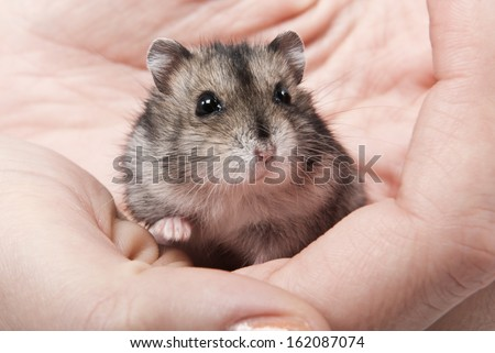 Little dwarf hamster on womans hands - stock photo