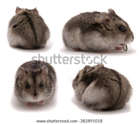 Little dwarf hamster. Set on studio white background