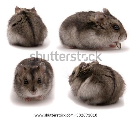 Little dwarf hamster. Set on studio white background - stock photo