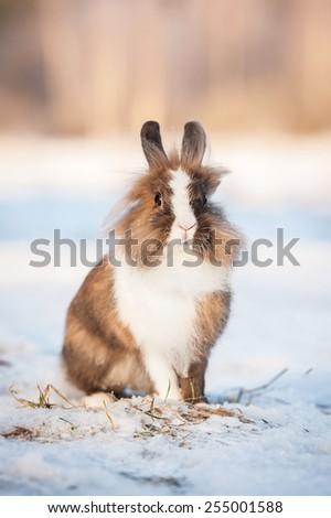 Little dwarf rabbit walking outdoors in winter - stock photo