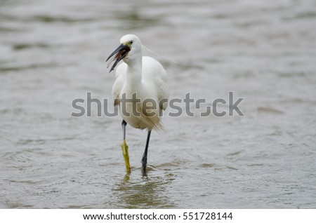 Little egret (Egretta garzetta) caught a fish