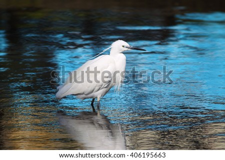 Little Egret (Egretta garzetta) from the bird family Ardeidae, wading in a shallow lake in north Cornwall